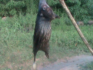 Here is a porcupine on sale after a fruitful hunt.