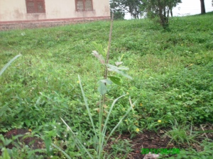 This is a one month old jack plant planted by the wpe